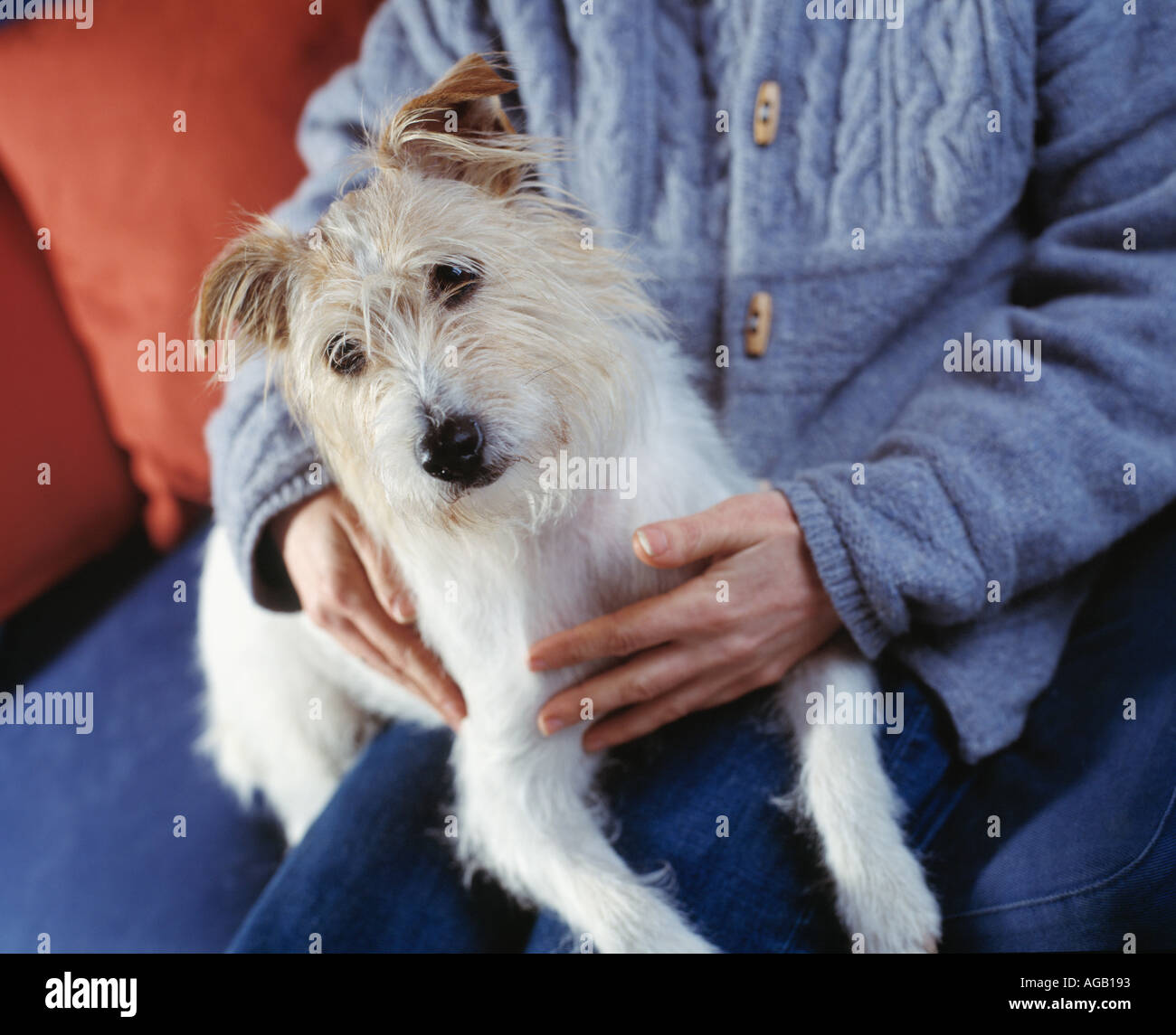 small terrier dog sitting on lap - Stock Image