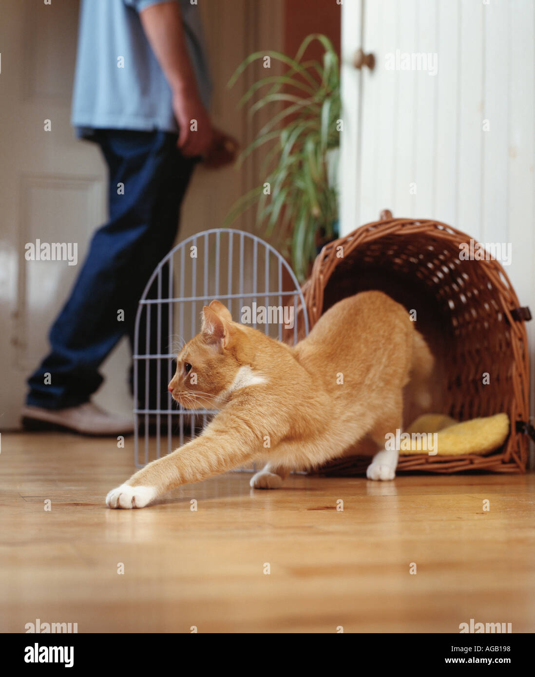 ginger tom escaping from basket - Stock Image