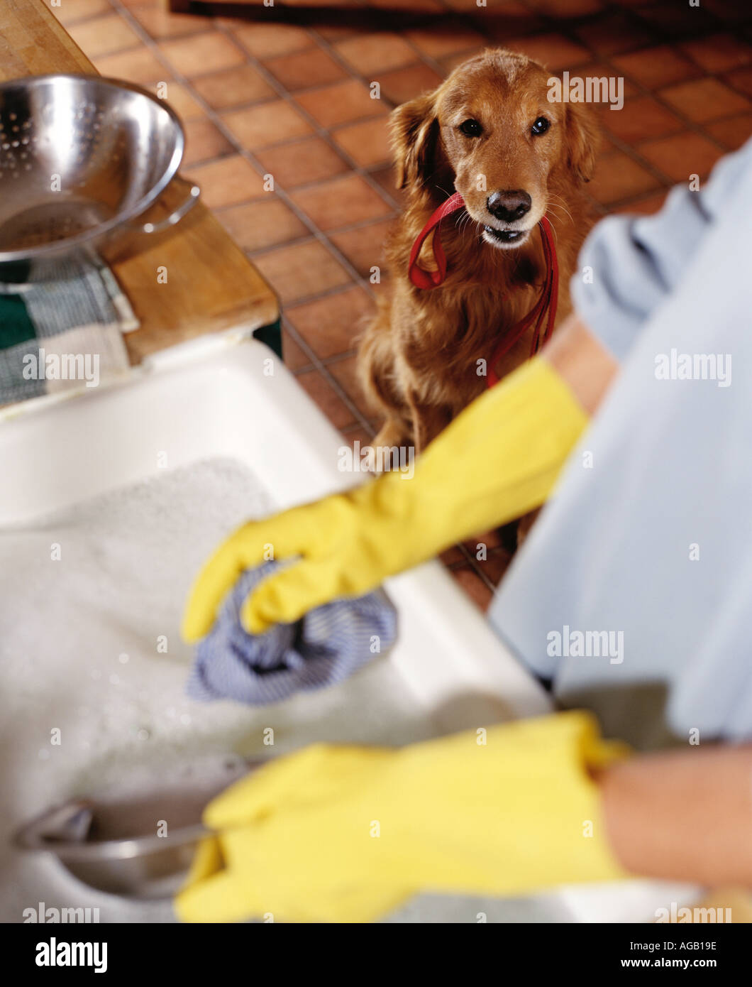 golden retriever waiting for walk whilst owner washes up - Stock Image