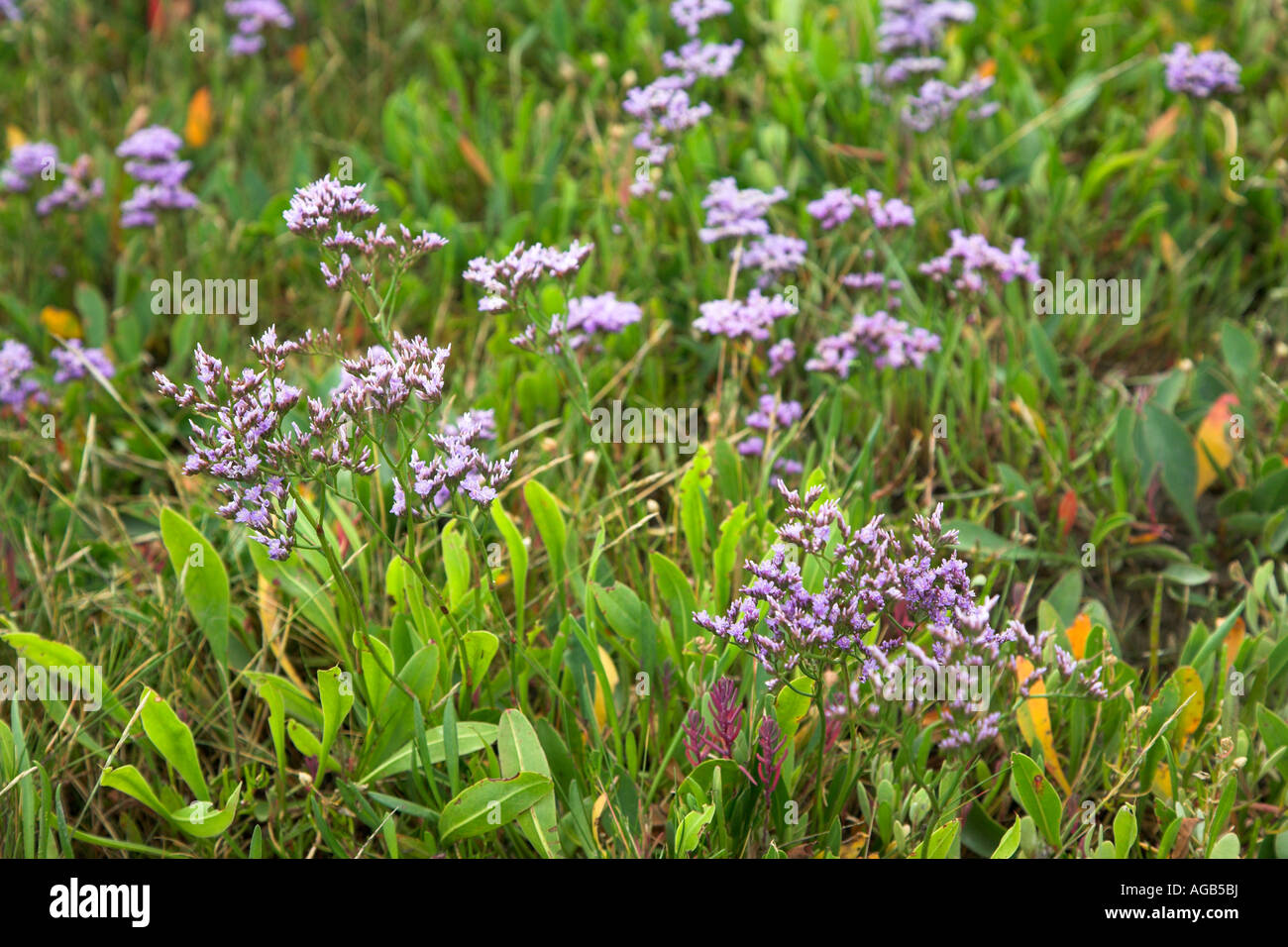 Common Sea Lavender Limonium vulgare growing on salt marsh, Suffolk coast, England - Stock Image