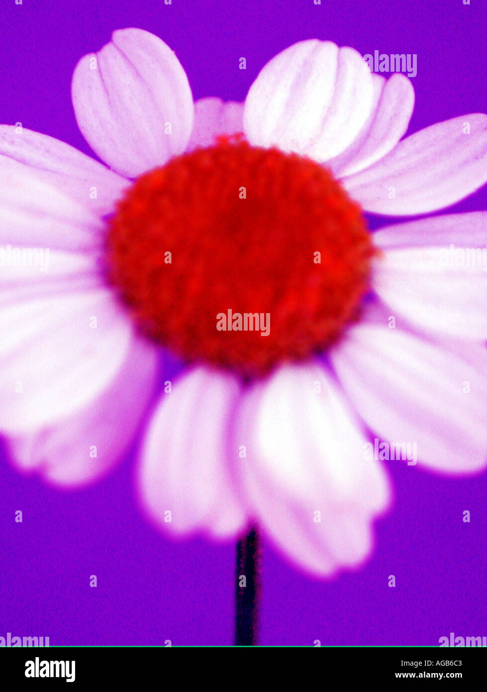 Colour enhanced singular daisy flower - Stock Image