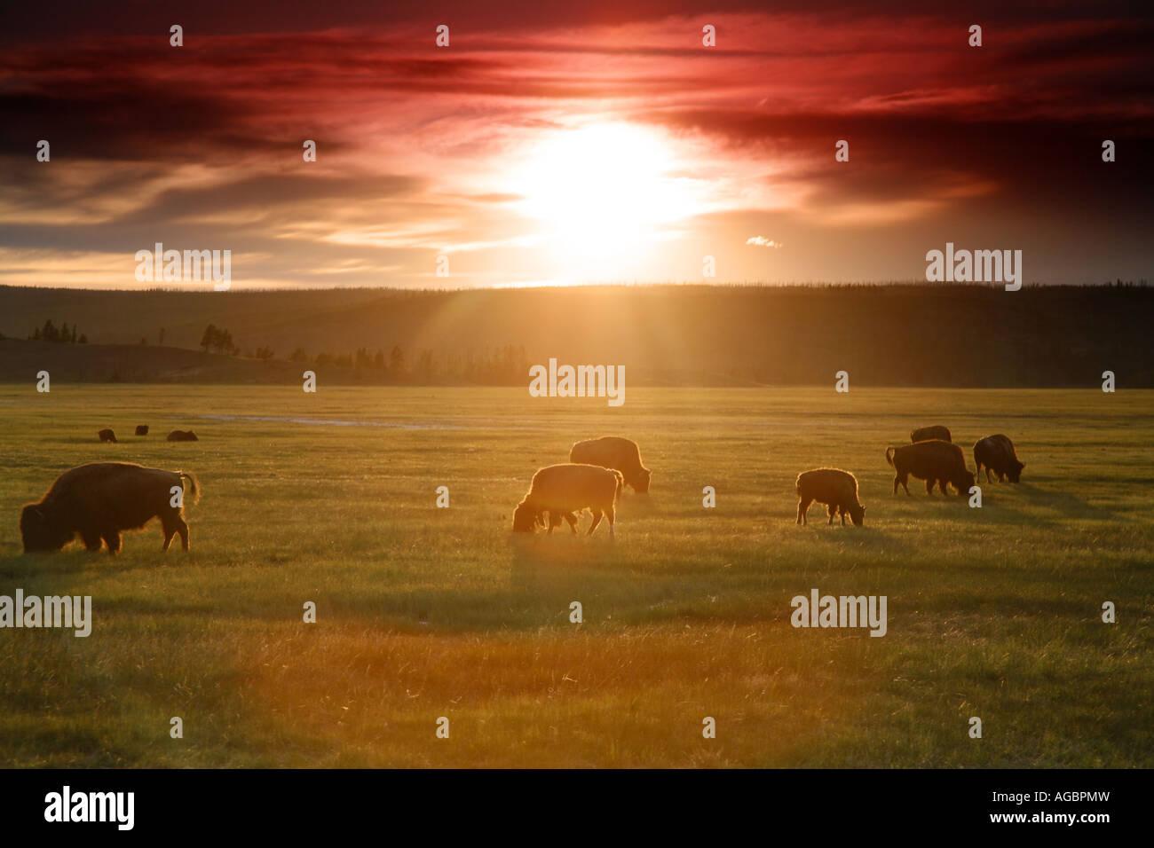 Buffalo at sunset Midway Geyser Basin Yellowstone National Park Wyoming - Stock Image