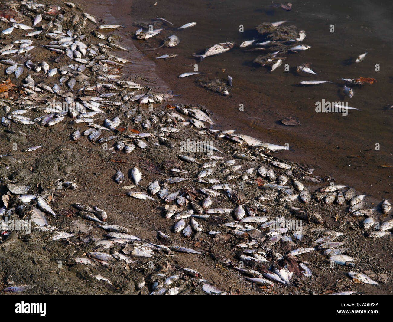 dead fish pollution garbage - Stock Image