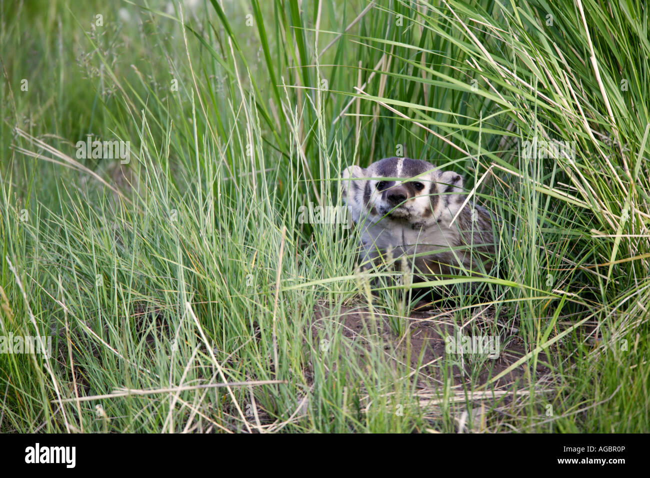 A Badger Yellowstone National Park Wyoming - Stock Image