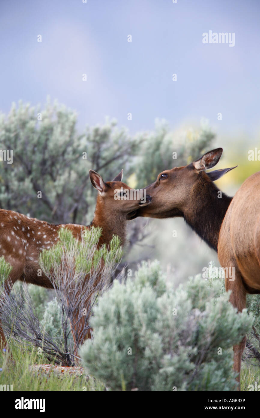 Elk calf in Yellowstone National Park Wyoming - Stock Image