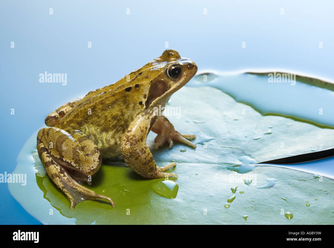 Common frog, Rana temporaria on water lily pad - Stock Image