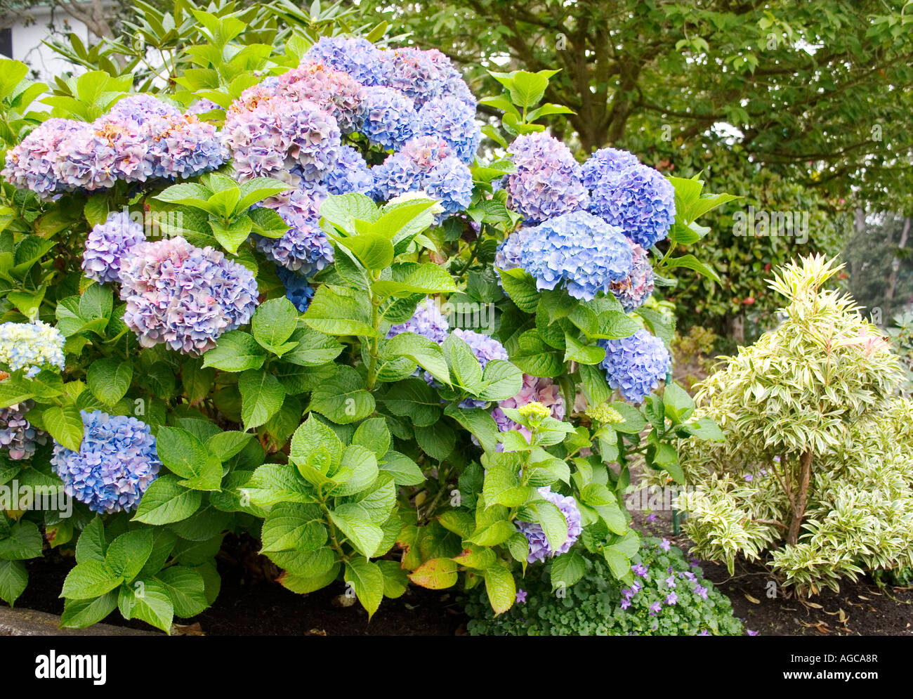 Blue Hydrangea shrub blooming profusely at the end of summer in Victoria, British Columbia. - Stock Image