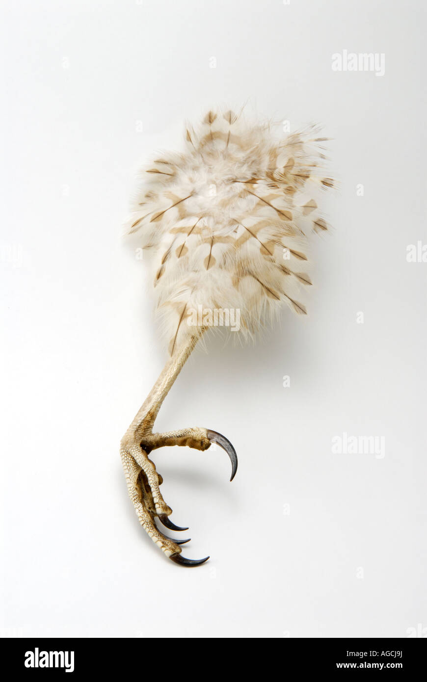 Talon claw of the Cooper's Hawk Accipiter cooperii - Stock Image
