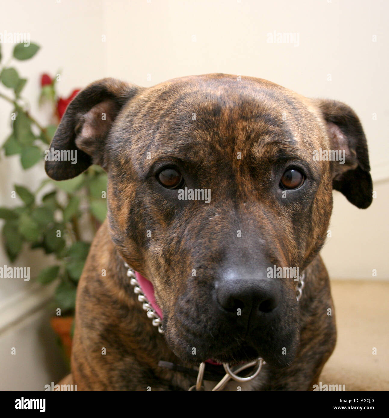 brindle brown pit bull terrier mutt stock photo 8096159 alamy