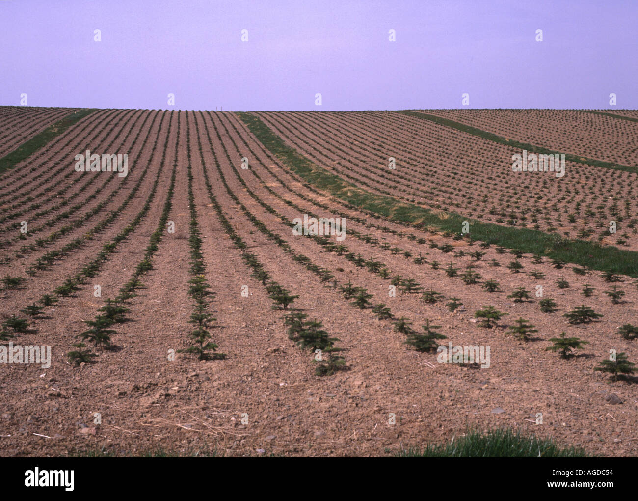 dh Tree plantation FORESTRY UK Scotland Fir trees young saplings conifer sapling planted rows forest planting - Stock Image