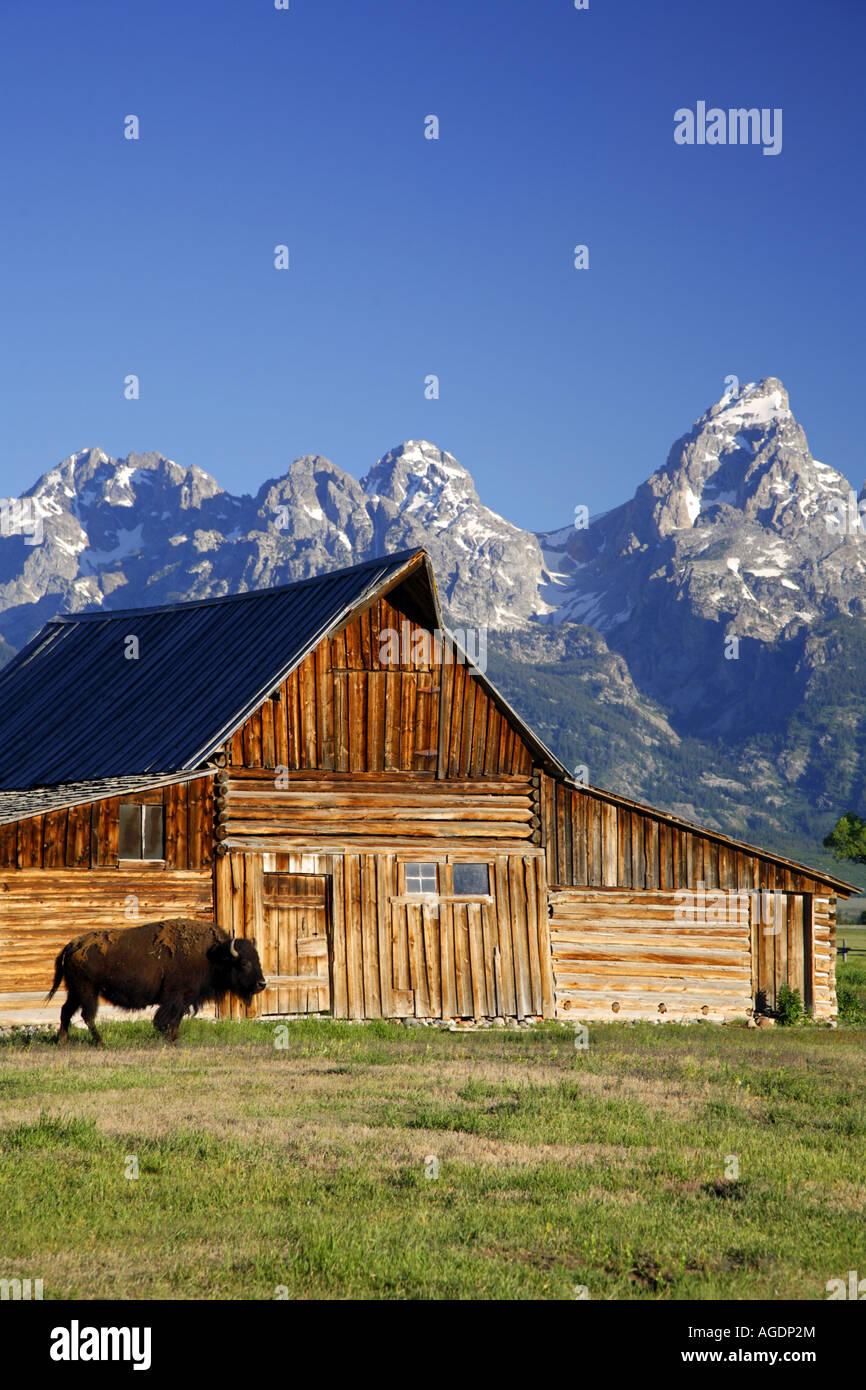 Buffalo and a barn on Mormon Row Grand Teton National Park Wyoming - Stock Image