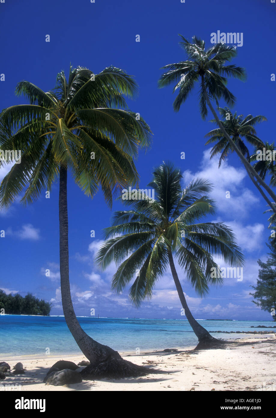 Scene with coconut palms on Moorea Island,  French Polynesia - Stock Image