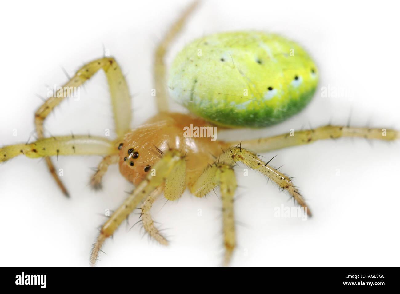 Cucumber Spider, Araniella Cucurbitina, on white background Stock Photo