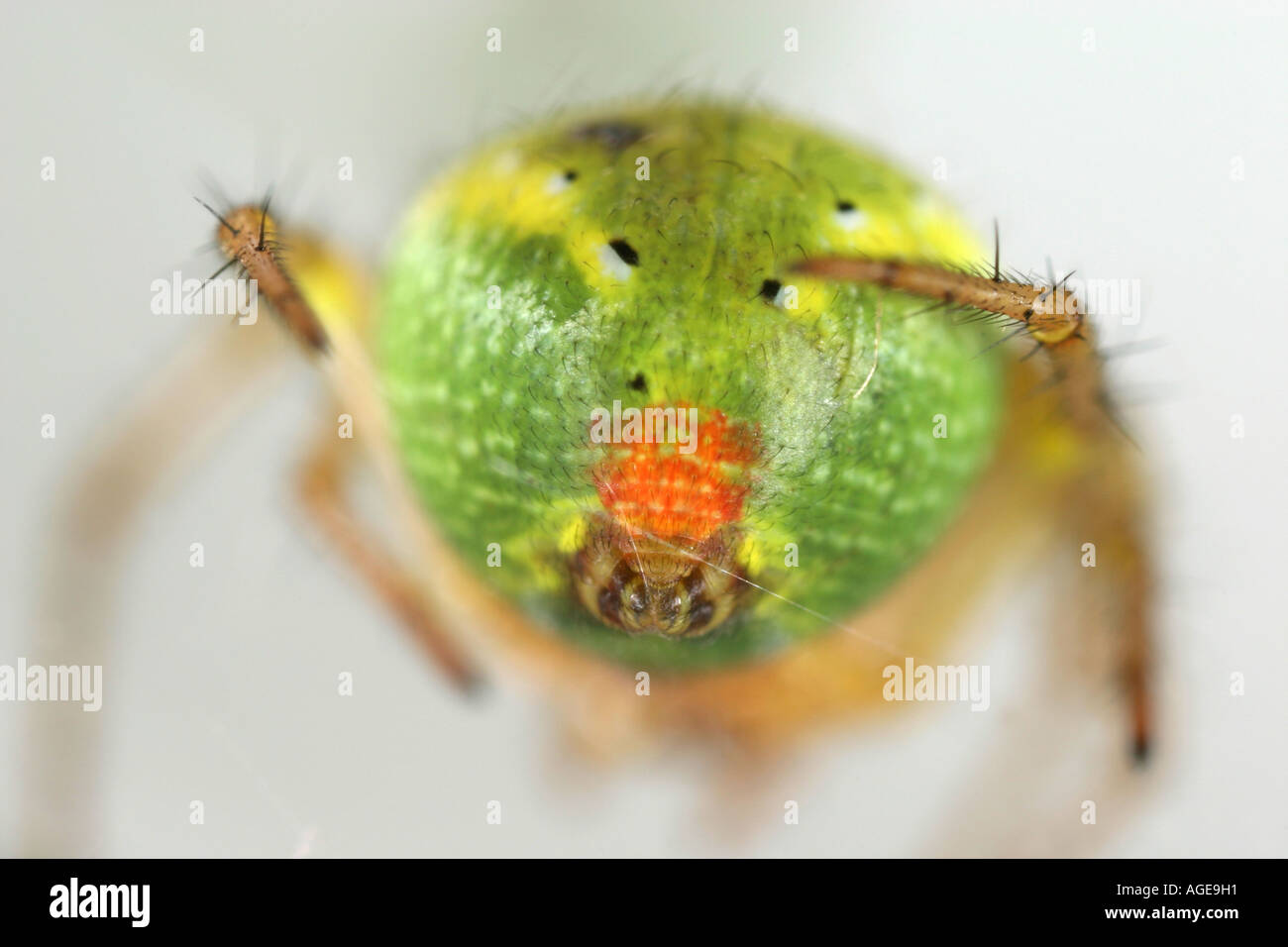 The tiny red spot on the back of the Cucumber Spider, Araniella Cucurbitina Stock Photo