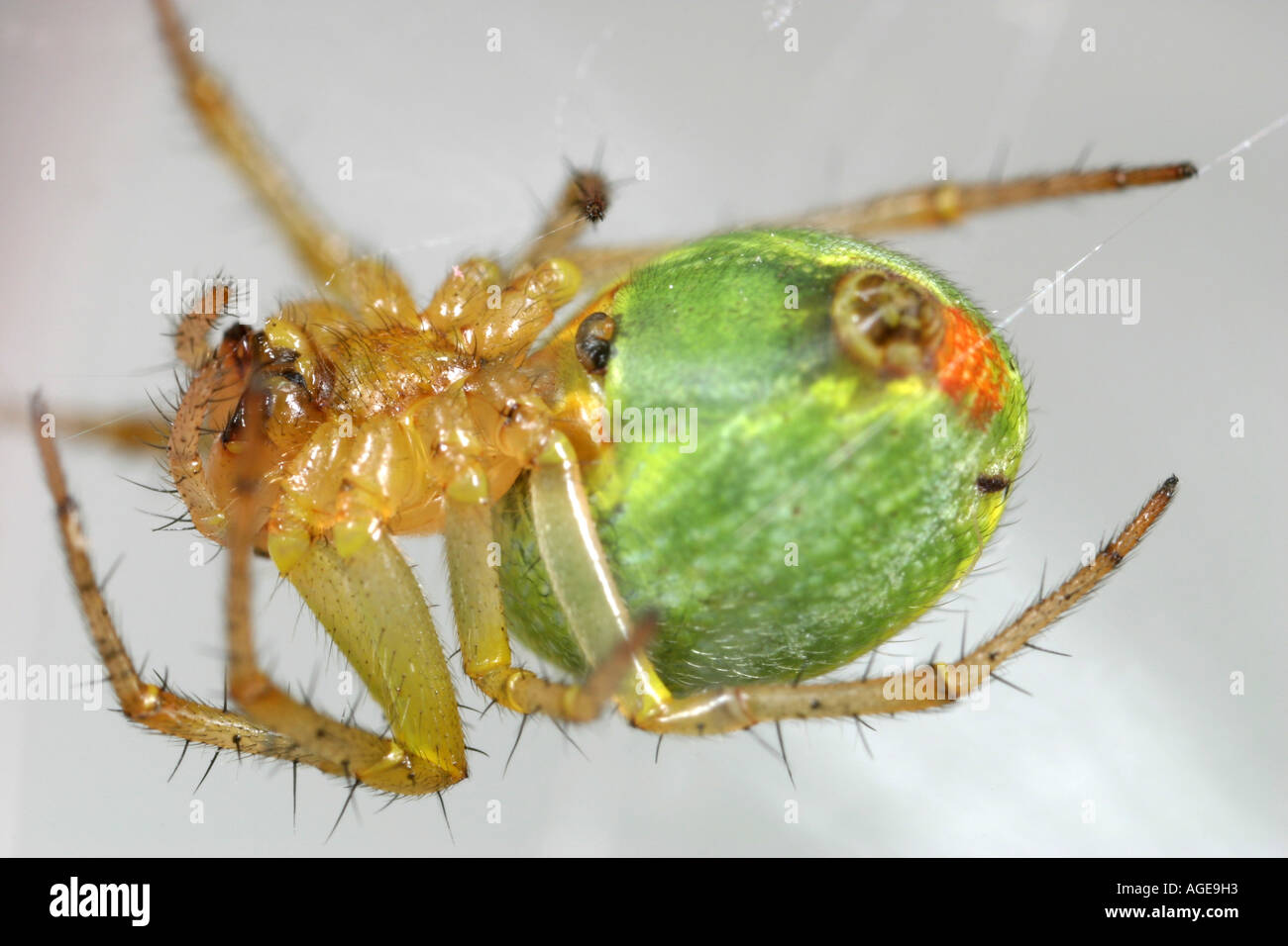 Cucumber Spider, Araniella Cucurbitina, hanging upside down in its webStock Photo