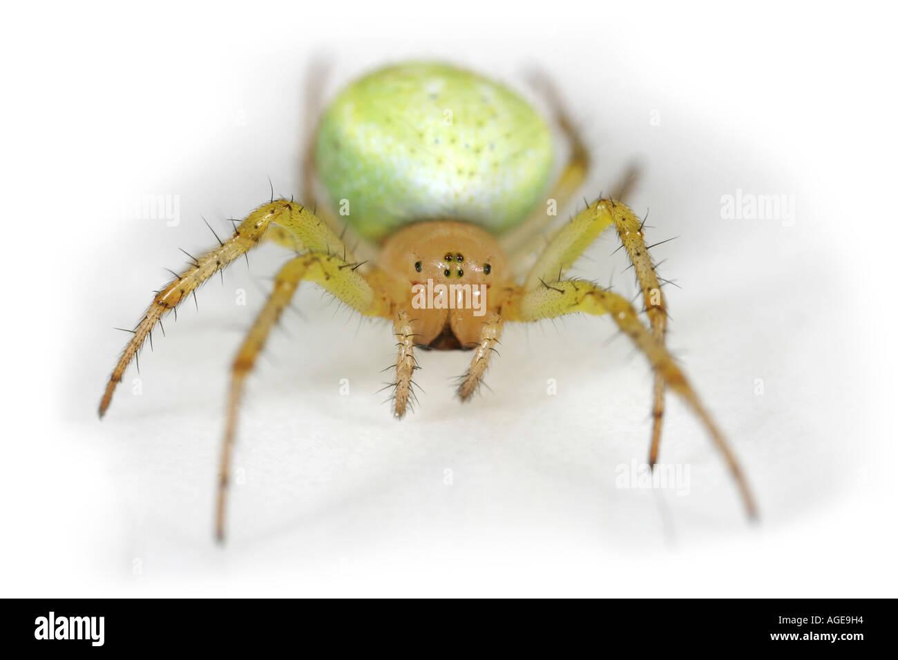 Cucumber Spider, Araniella Cucurbitina ,on white backgroundStock Photo