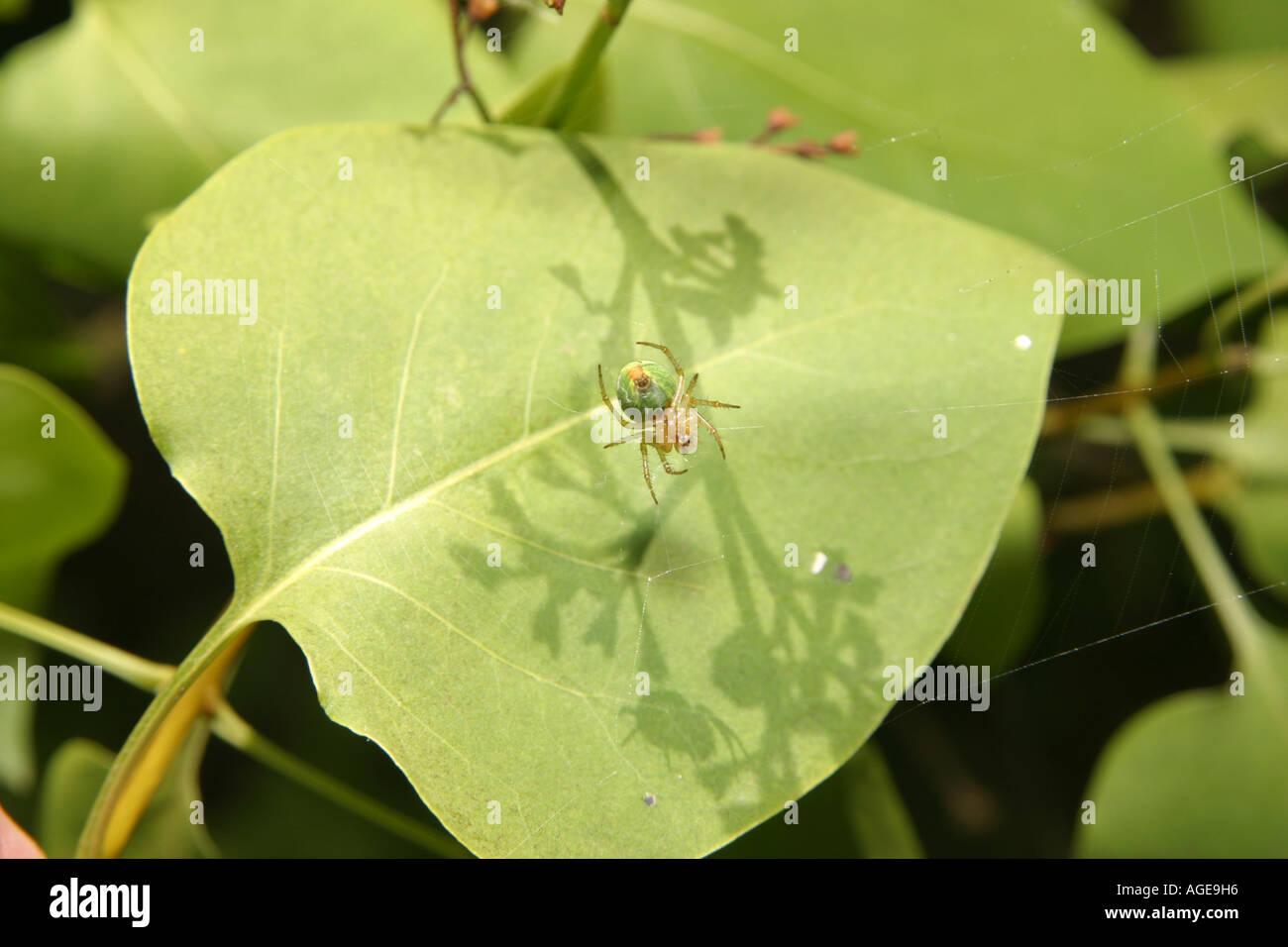 Cucumber Spider, Araniella Cucurbitina, in its web on a leafStock Photo