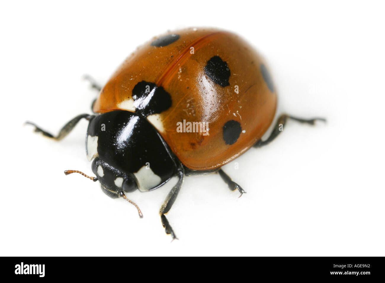 Close up of the Seven Spotted Ladybug, Coccinella septempunctata, on white backgroundStock Photo