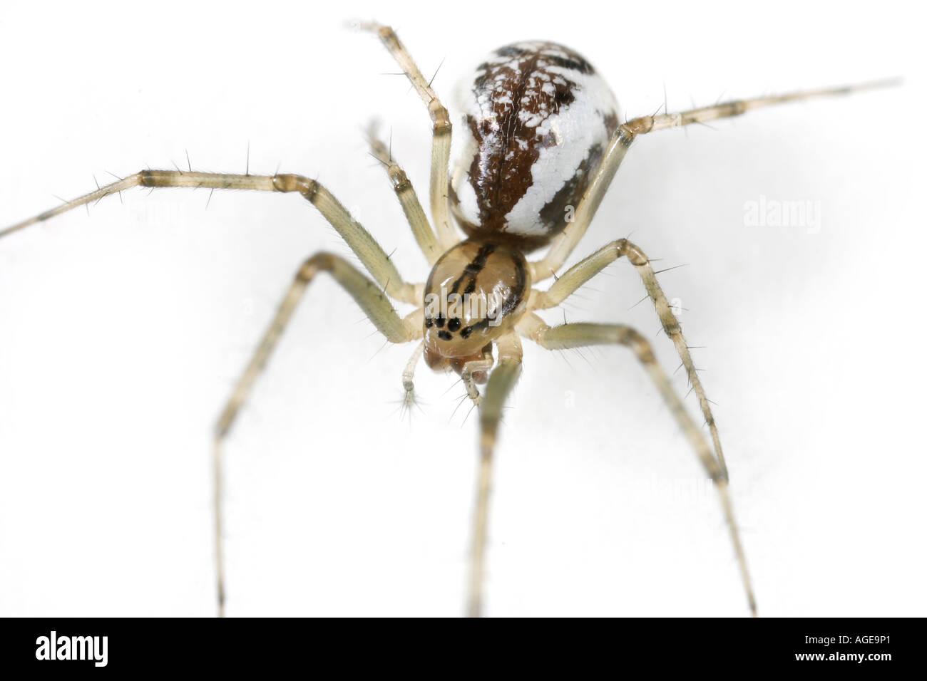 A sheet web spider, Linyphia Triangularis, on white background Stock Photo