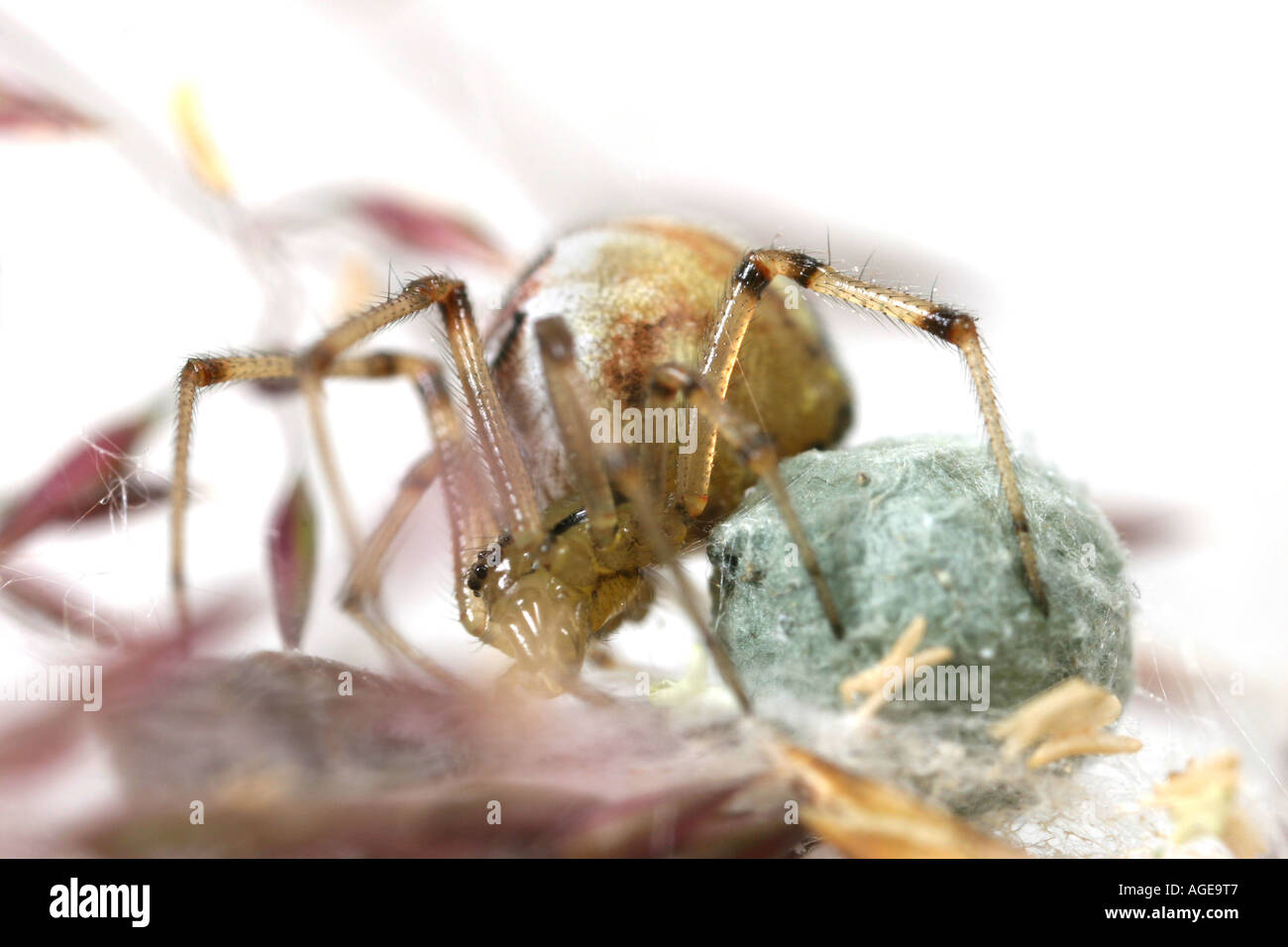 Theridion impressum spider with its egg sac - Stock Image