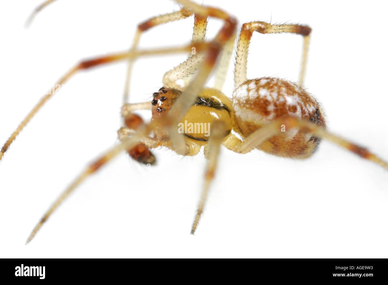 Theridion impressum spider - Stock Image