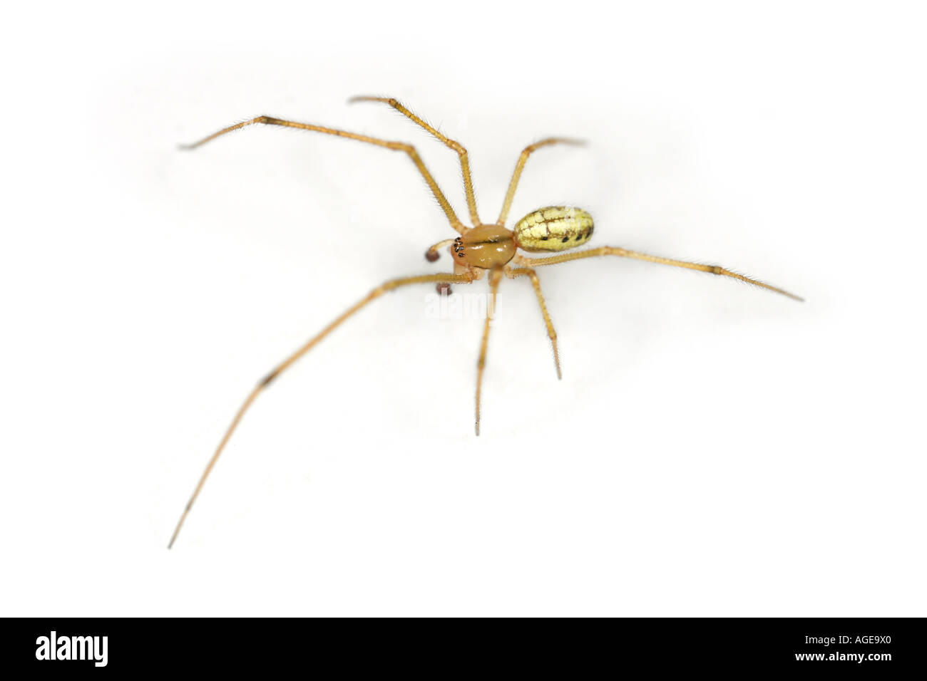 Enoplognata Ovata, a small Comb-footed spider with dark dots on the sides, this specimen has a yellow back body. Stock Photo