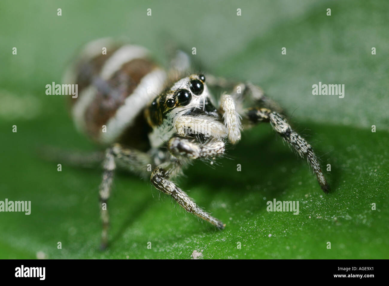 Zebra spider, Salticus Scenicus, sitting on a leaf. The Zebra spider is a small jumping spider. Stock Photo