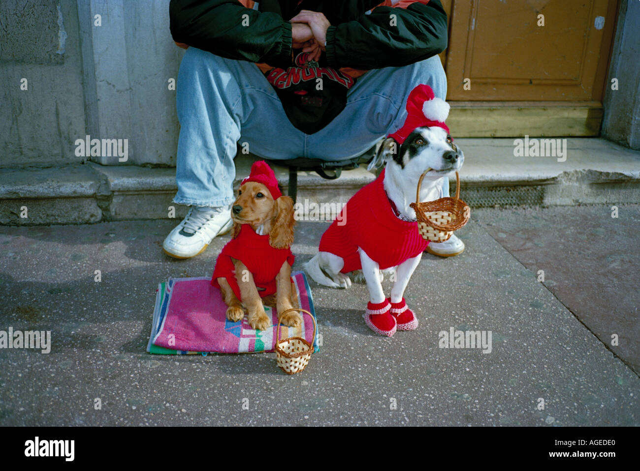 Two canine Santa lookalikes begging on Avenue Jean Medecin Nice France on the run up to Christmas - Stock Image