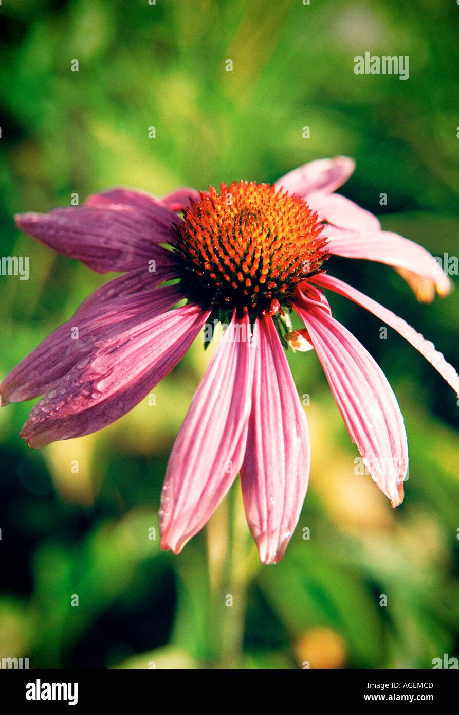 Echinacea purpurea purple coneflower that is used as a herbal medicine Close up - Stock Image