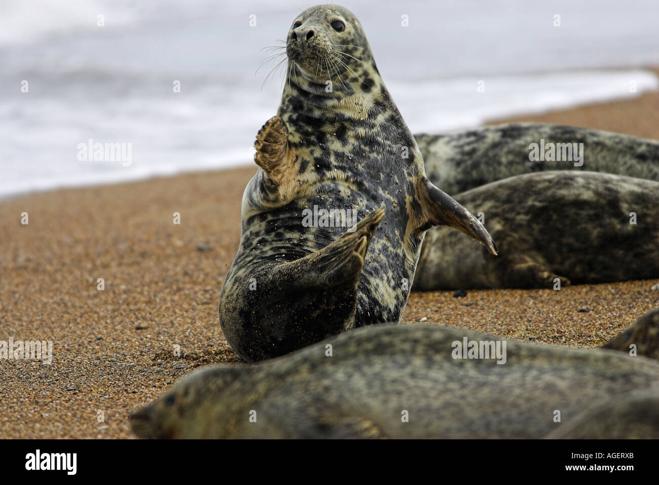 grey seal on beach near gt yarmouth uk Stock Photo