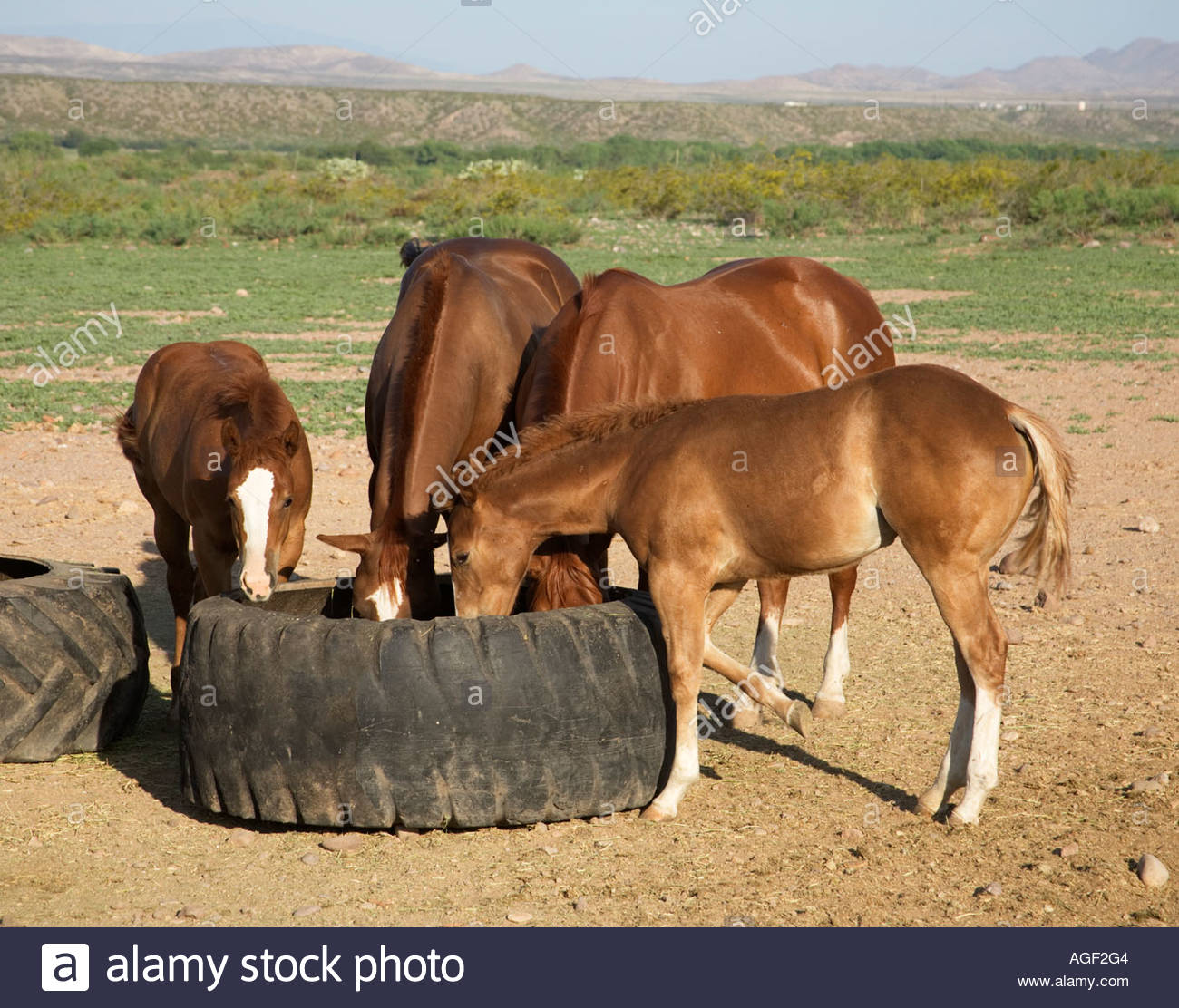 horses feeding from used loader tires southeastern arizona stock