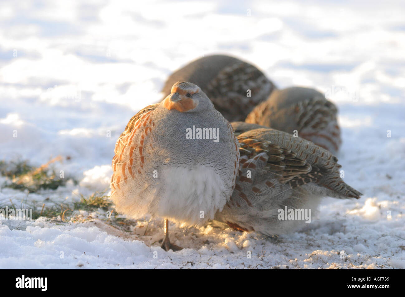 Covey Of Quail Stock Photos & Covey Of Quail Stock Images