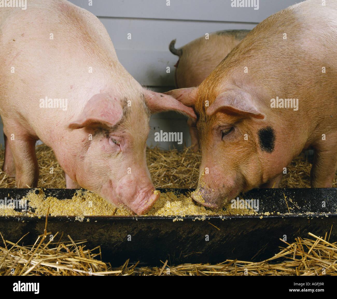 R Hogs Pig Trough Stoc...