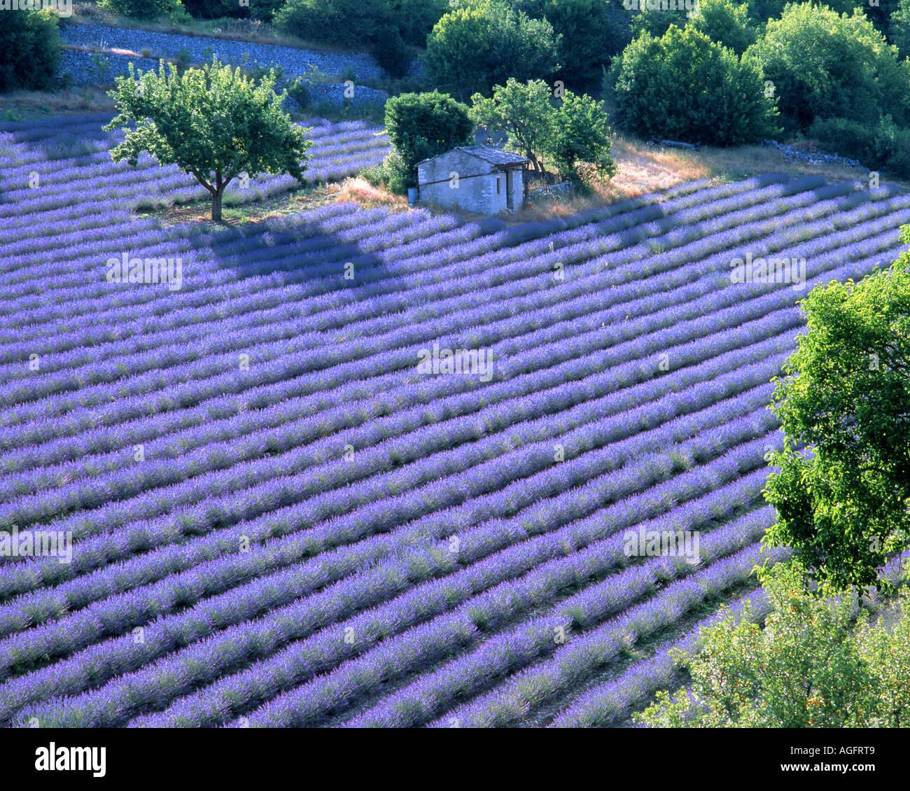 FR - PROVENCE: Lavender Field near Sault - Stock Image