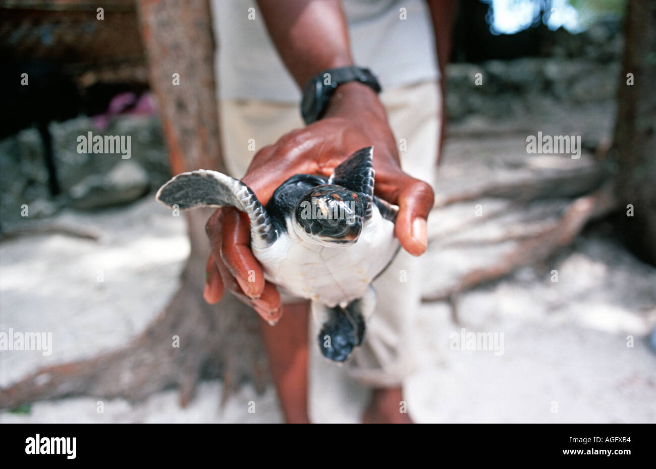 A young turtle held in the hand Aquarium at Nungwi Unguja Zanzibar Tanzania East Africa - Stock Image