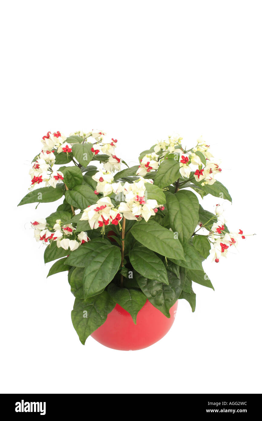 bleeding heart vine, bleeding heart glorybower (Clerodendrum Stock ...