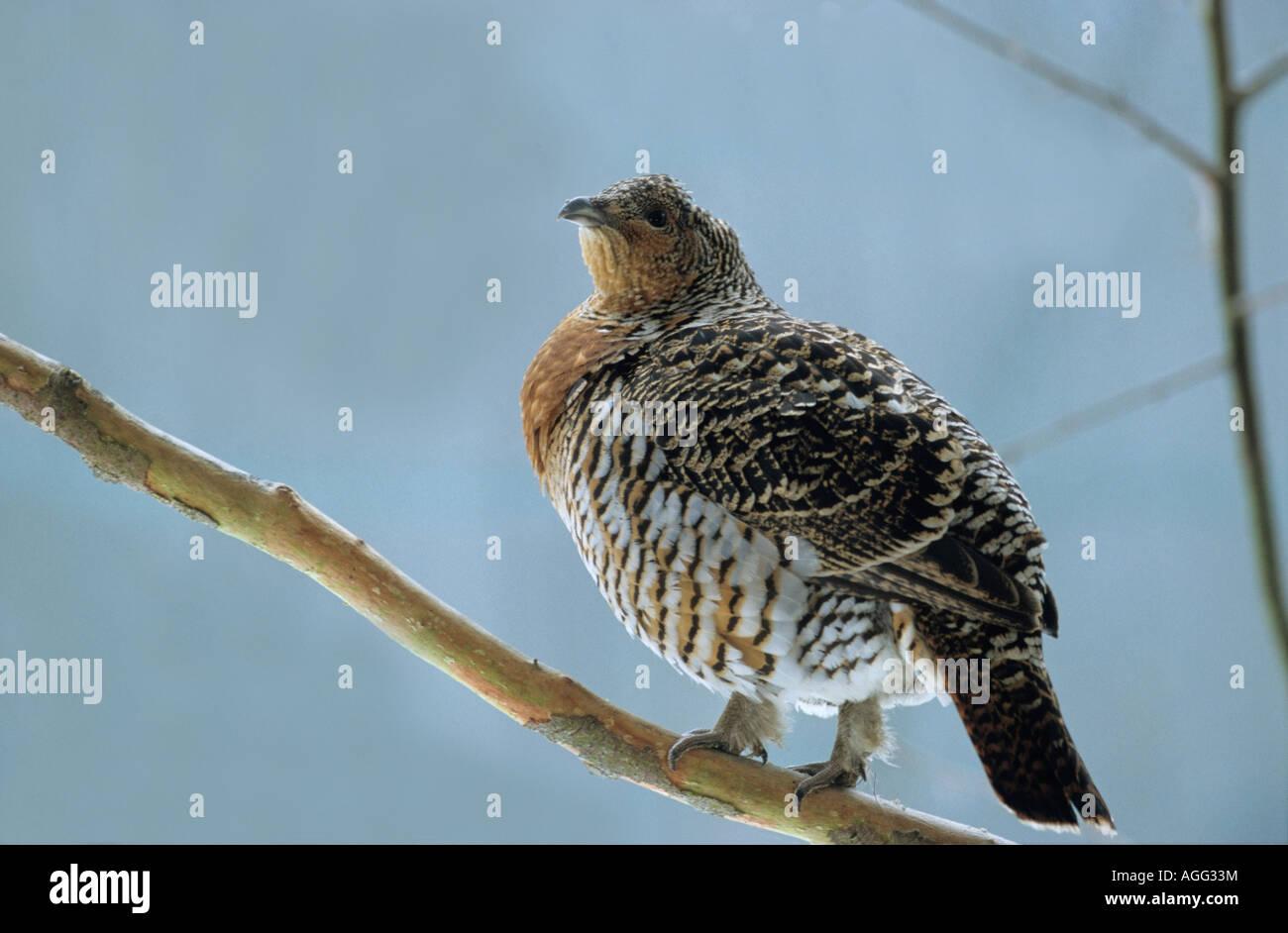 Auerhahn Tetrao urogallus Auerhenne Auerhuhn sitzt auf einem Ast Capercaillie female perched on twig Stock Photo