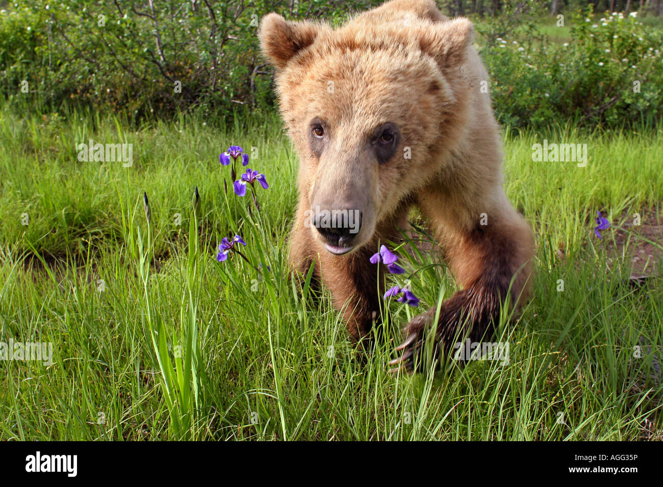 Grizzly bear walking - photo#45