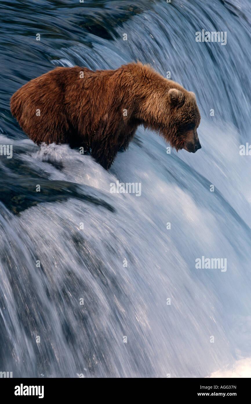 Brown bear sits waiting for salmon top of Brooks Falls Katmai National Park Southwest Alaska Summer - Stock Image