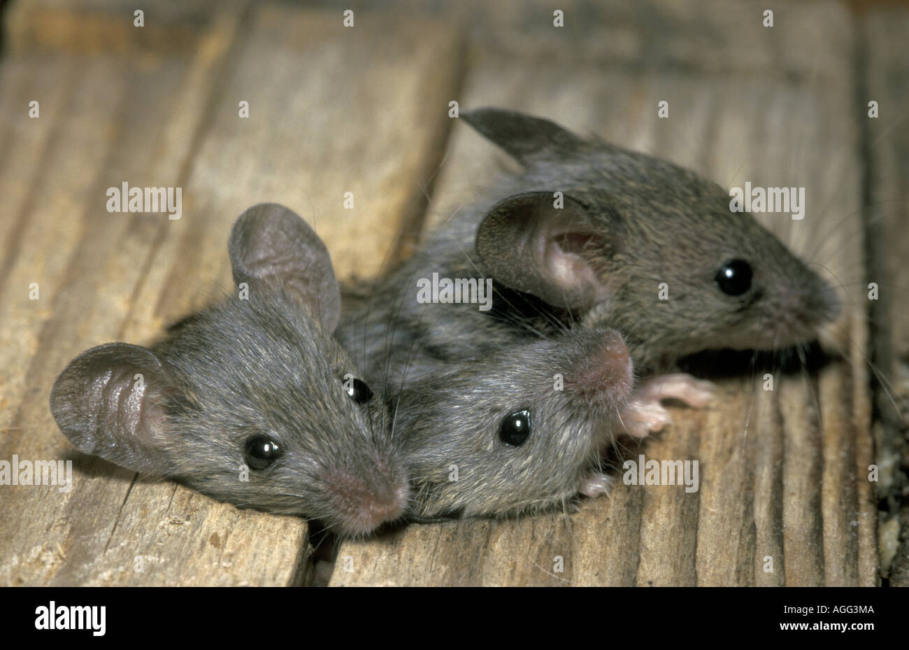 House mouse mus musculus three individuals squeezing for Mice in between floors