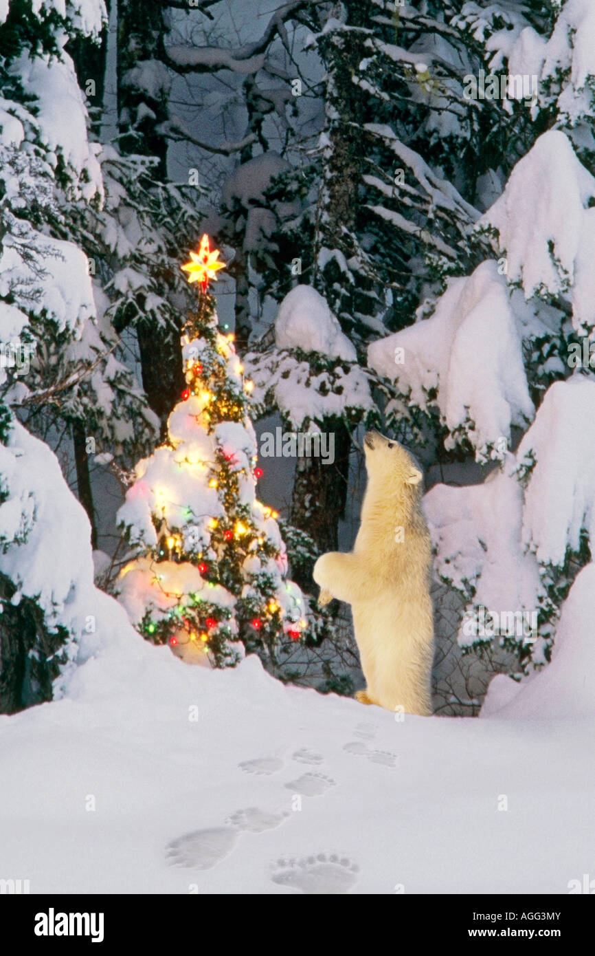 Polar bear cub standing on hind legs looking star on christmas tree in forest Alaska Winter Composite - Stock Image