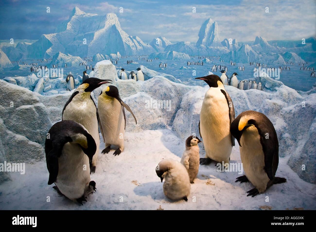 Emperor Penguins - Stock Image