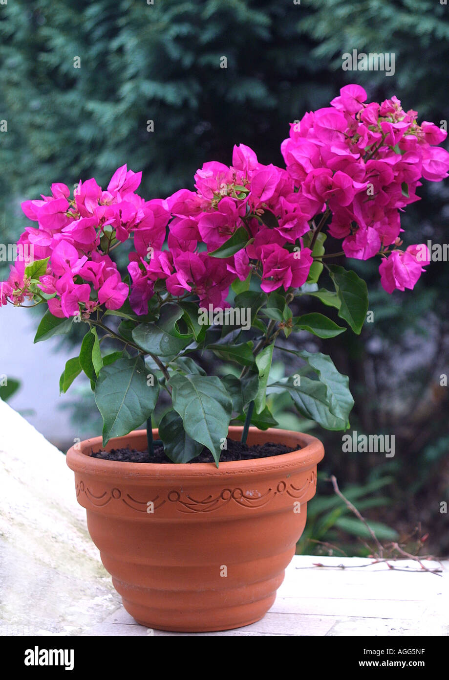 bougainvillea plant in pots images galleries with a bite. Black Bedroom Furniture Sets. Home Design Ideas