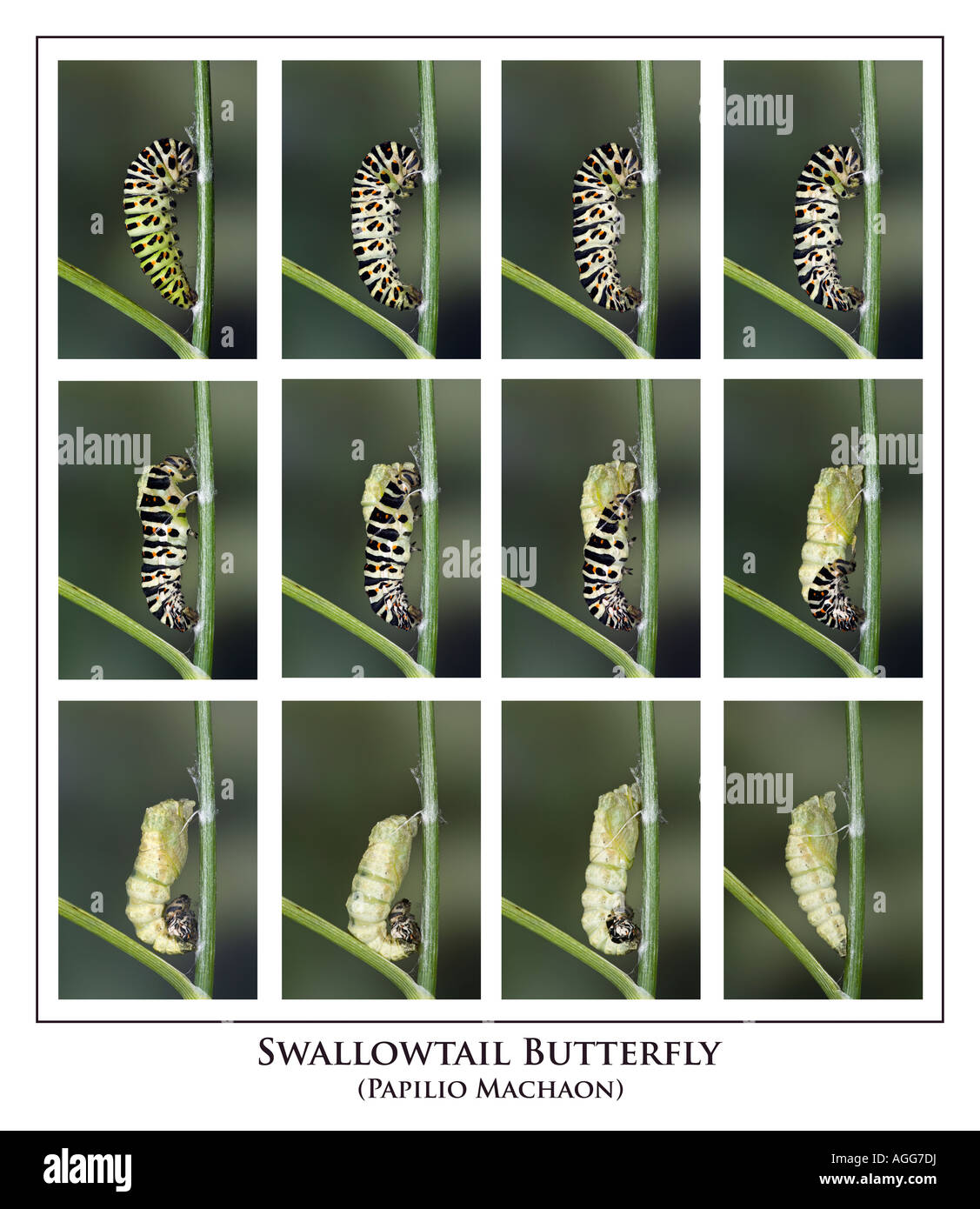 Swallowtail Papilio machaon  larvae undergoing transformation to chrysalis - Stock Image