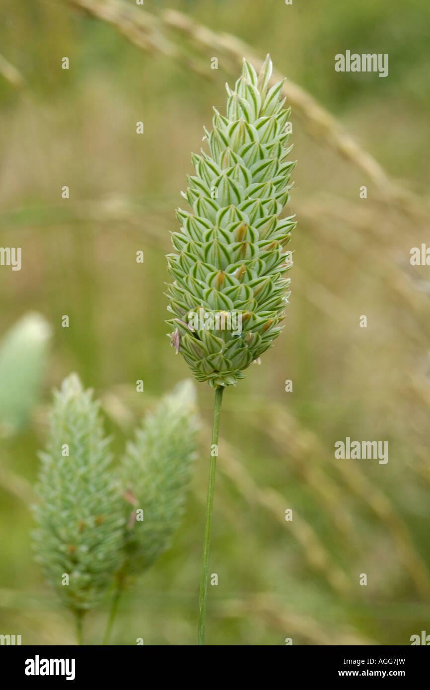 Canary grass, phalaris canariensis - Stock Image