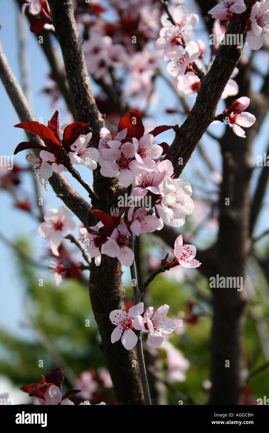 Pink Cherry Blossom Tree Flowers On Dark Brown Branch Stock Photo