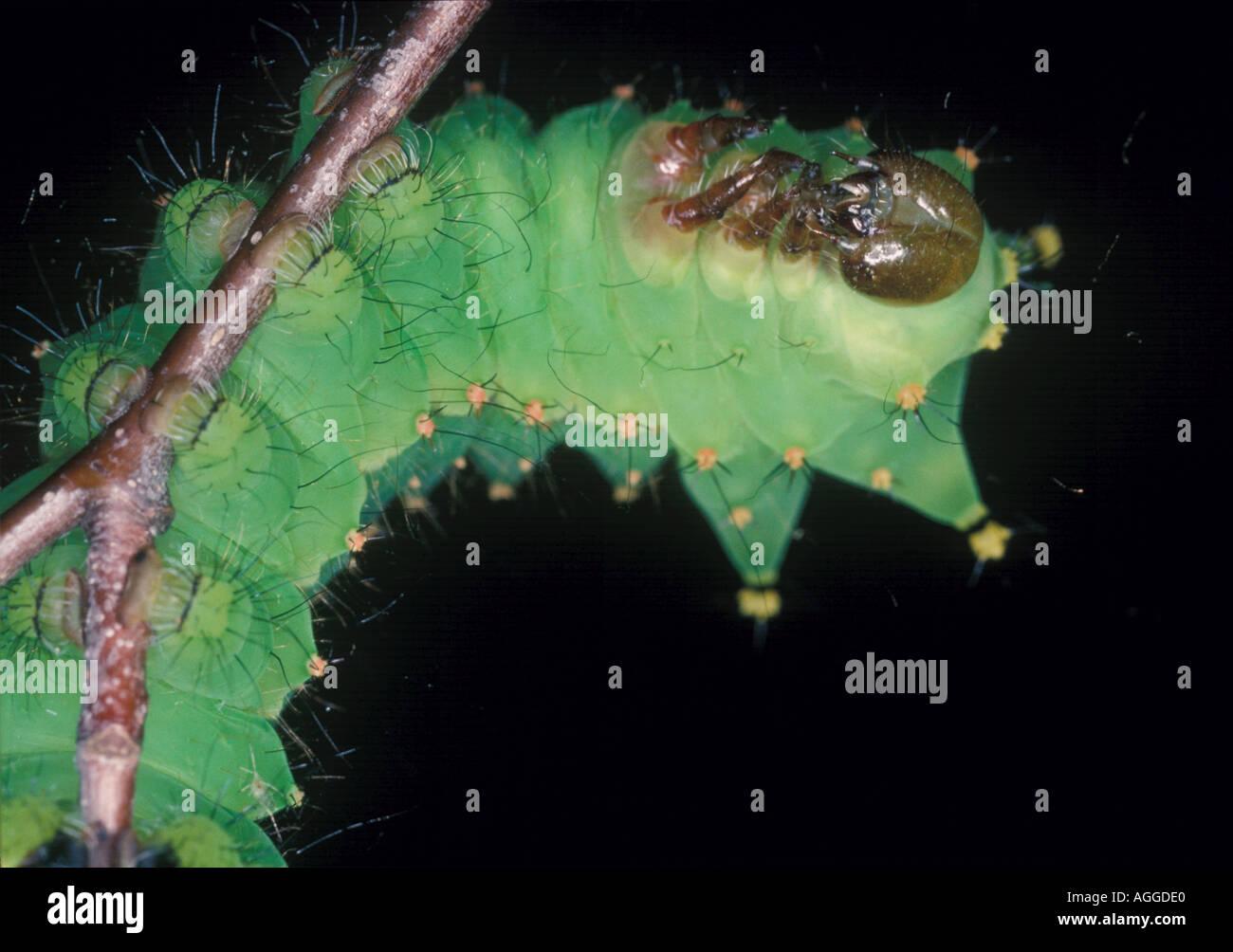 chinese oak silk moth caterpillar Stock Photo