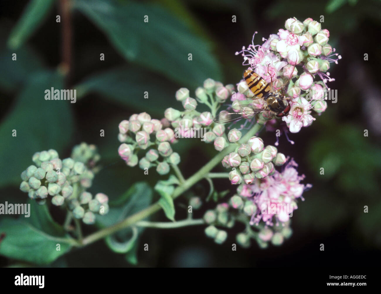 hover fly on flower Stock Photo