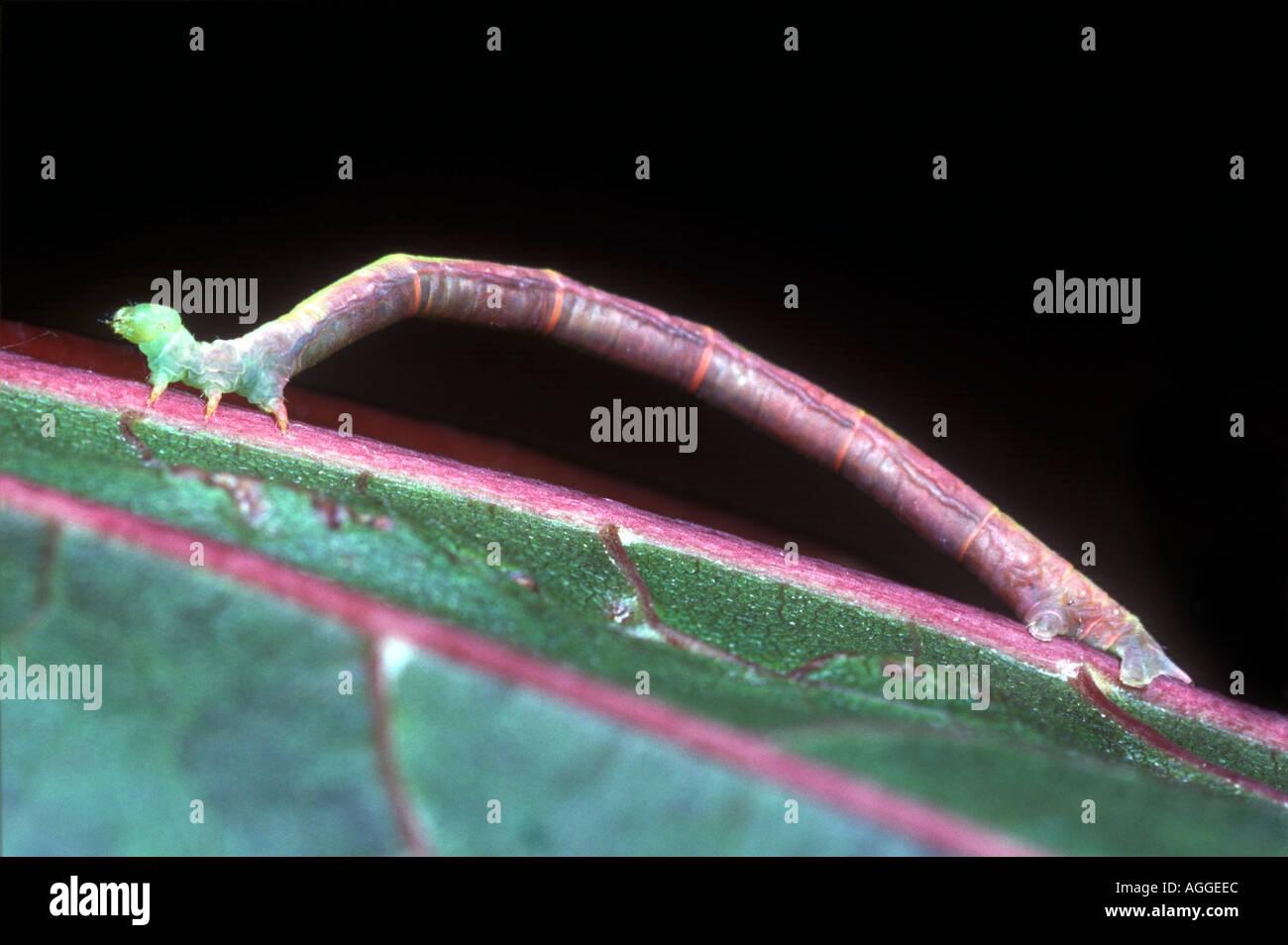 looping caterpillar on leaf geometrid larva Stock Photo
