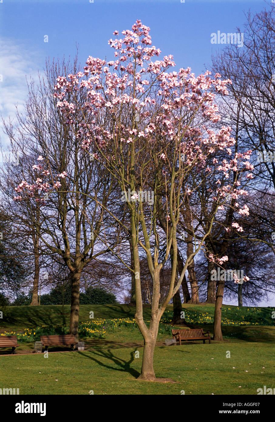 magnolia in blosson botanic garden edinburgh Stock Photo